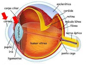 cornea-e-cristalino-do-olho