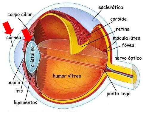 cornea e cristalino do olho